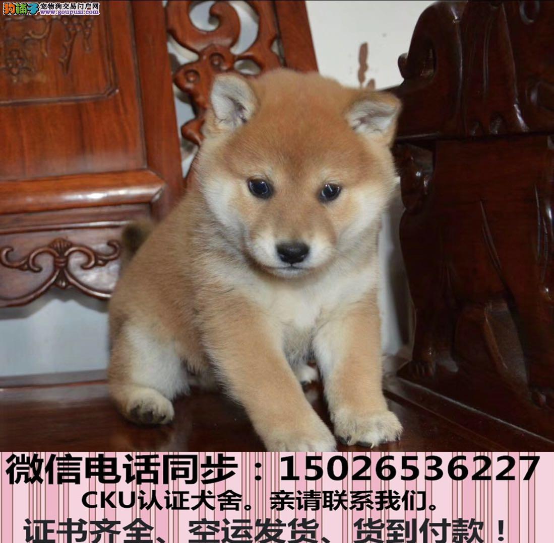 实拍现货视频一柴犬幼犬保健康保纯种签协议