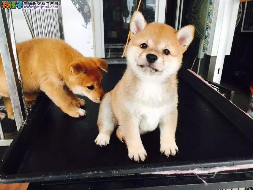 真正日本柴犬幼犬 高品质纯血统 健康签终身合同