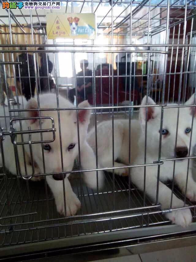 出售经典三把火蓝眼睛哈士奇幼犬 健康纯种质保