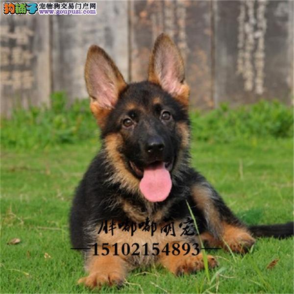 犬舍繁殖纯种德牧工作犬警犬全国发货