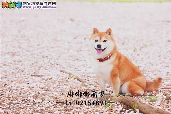 犬舍出售纯种日系柴犬包纯种包健康全国发货
