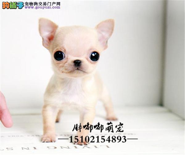 犬舍出售精品吉娃娃苹果头金鱼眼全国发货