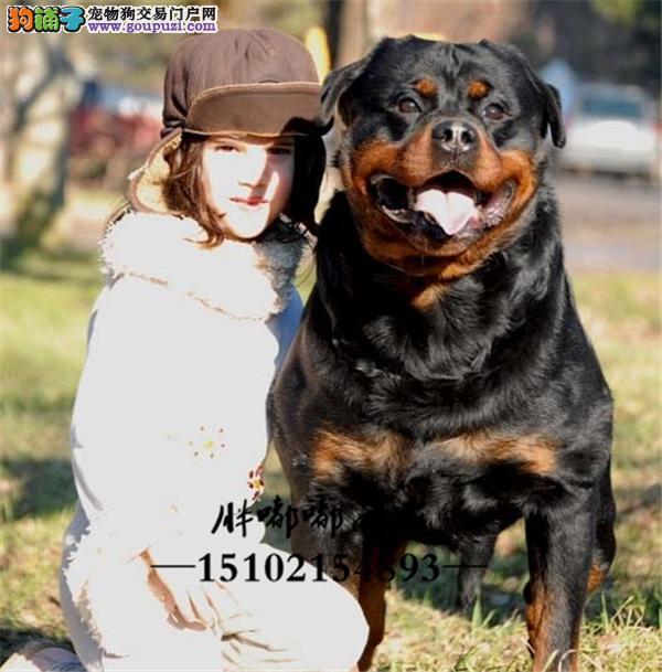 犬舍繁殖大骨量护卫犬罗威纳下单有好礼