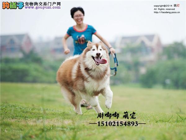 犬舍繁殖阿拉斯加雪橇幼犬包纯种包健康全国发货
