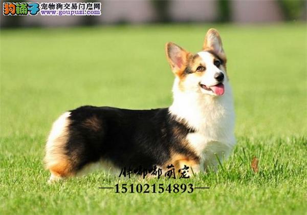 犬舍繁殖出售双色三色柯基犬全国发货
