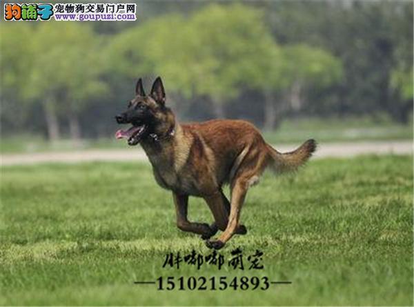 马犬自家养三个月幼犬送用品全国发货