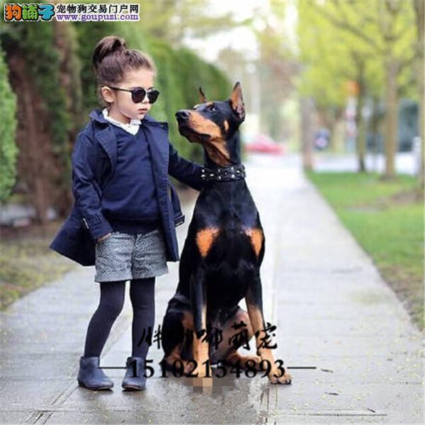 正规犬舍杜宾包纯种下单有礼全国发货