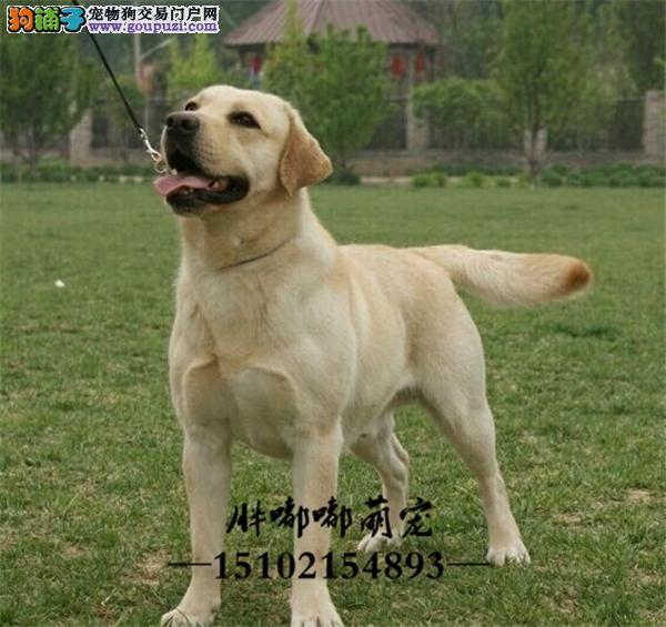 犬舍出售大骨架大头版拉布拉多导盲犬全国发货