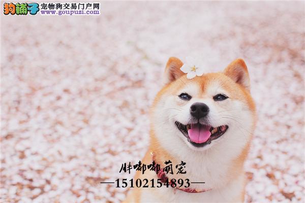 本地出售柴犬日系全国发货