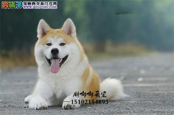 秋田赛级精品犬驱虫已做全国发货
