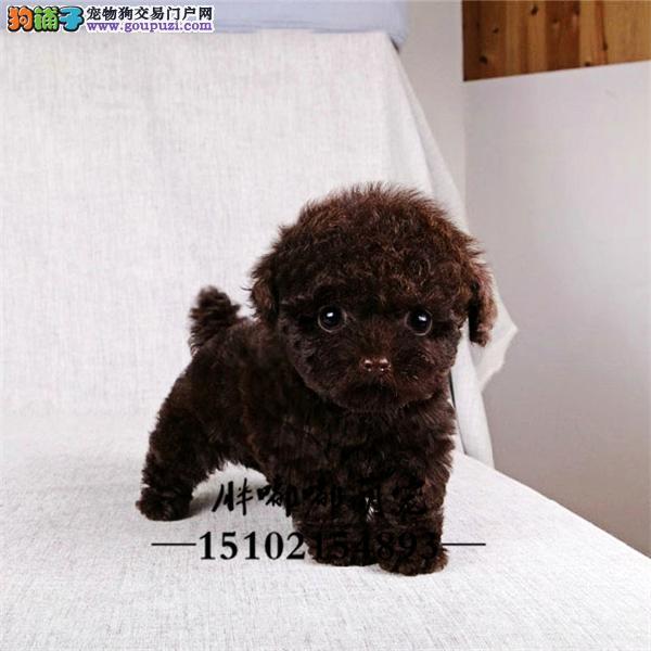 犬舍出售小体玩具体可爱泰迪全国发货