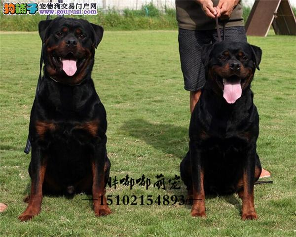 罗威纳好养可爱犬保健康全国发货