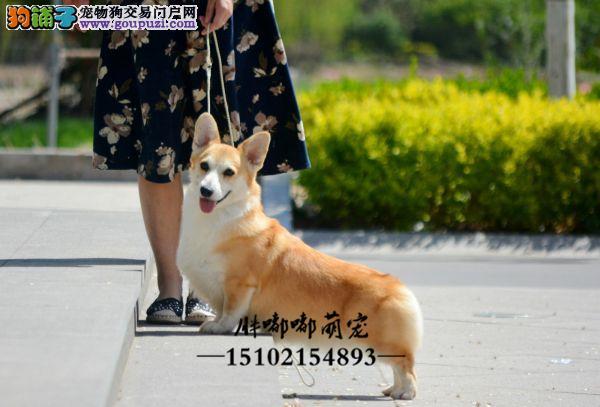 犬舍柯基精品犬带证书送用品全国发货