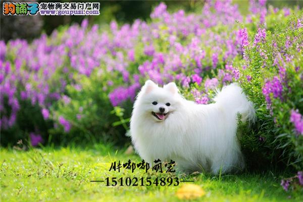 出售可爱淘气小体博美犬全国发货