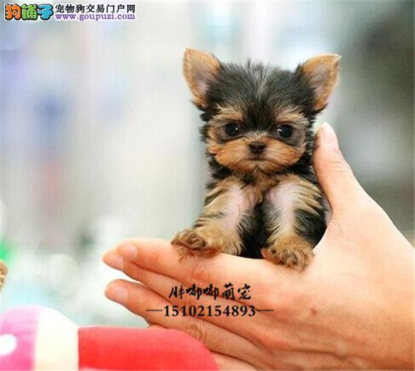 犬舍繁殖出售小型犬金头银背约克夏全国发货