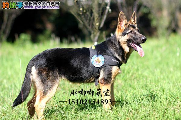 犬舍繁殖德国牧羊犬大骨架警犬全国发货