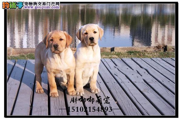 出售拉布拉多高品相神犬犬全国发货