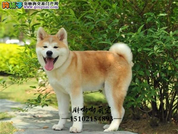 犬舍繁殖精品大型犬日系秋田犬全国发货