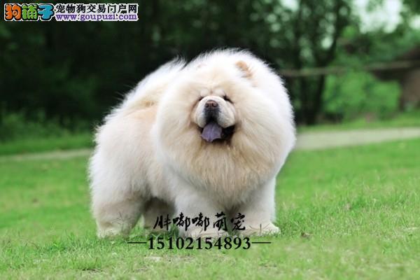 松狮出售健康胖胖奶狗全国发货