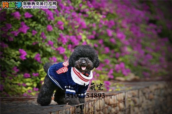 出售纯种家养小型犬泰迪熊品相好毛量足全国发货