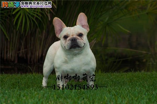 法牛健康小包纯种幼犬待售全国发货