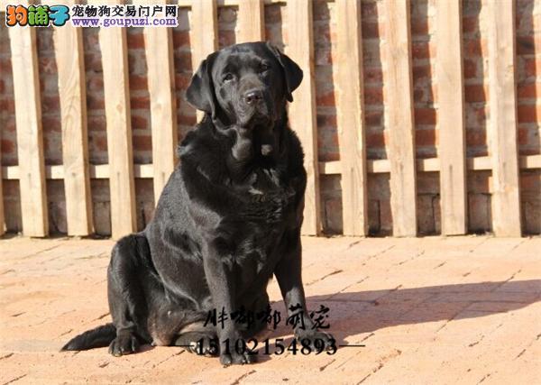 正规犬舍拉布拉多可爱双血统全国发货