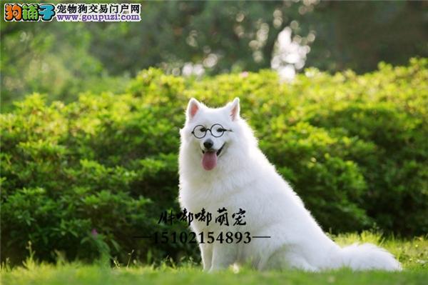 萨摩耶精品小犬包纯种双血统全国发货