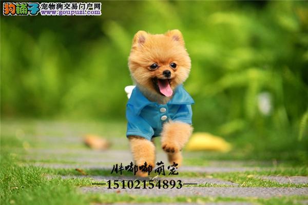 犬舍博美出售小包纯种全国发货
