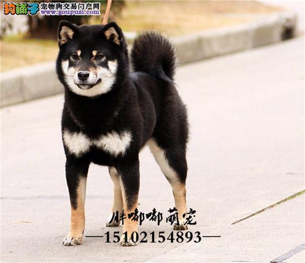 柴犬赛级日本双血统下单有礼全国发货