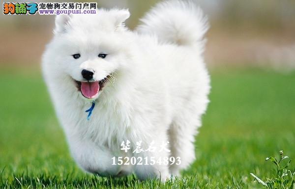 合肥市萨摩耶帅气帅气微笑犬全国发货