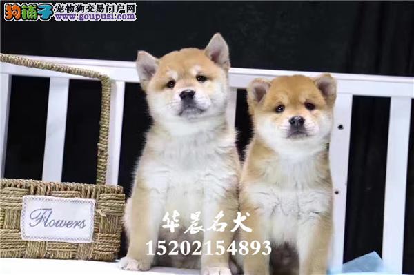 养殖场出售日本进口双血统赤色柴犬 种源可查 全国发货