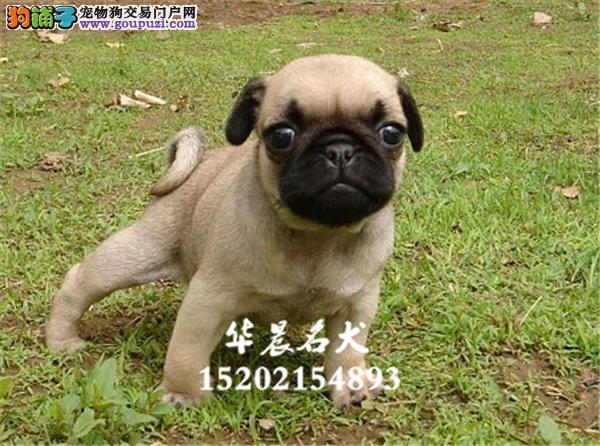 芜湖市出售巴哥高品相幼犬下单有礼全国发货