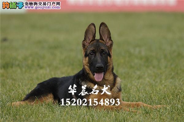 德牧可爱乖巧三个月护卫犬全国发货