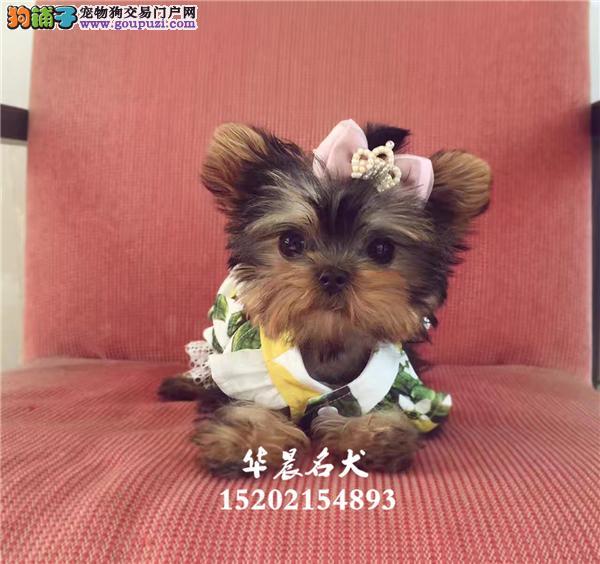 犬舍韩系小体约克夏 金头银背 茶杯体约克夏幼犬出售