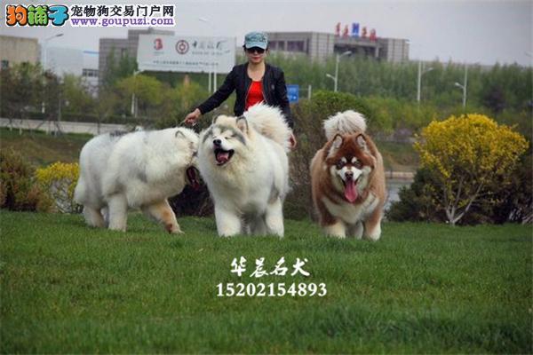 出售阿拉斯加自家养新生小犬全国发货
