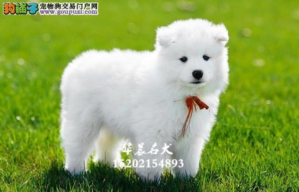 家养萨摩耶新生阳光犬送用品全国发货