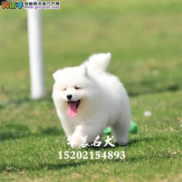 萨摩耶健康精品小犬包纯种全国发货