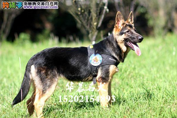 精品赛级血统宠物狗 德国牧羊犬 警犬专用