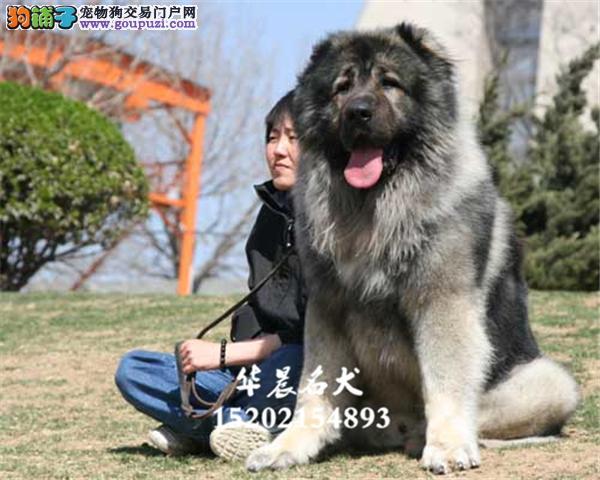大熊骨架 原生态血系的高加索犬出售 全国发货