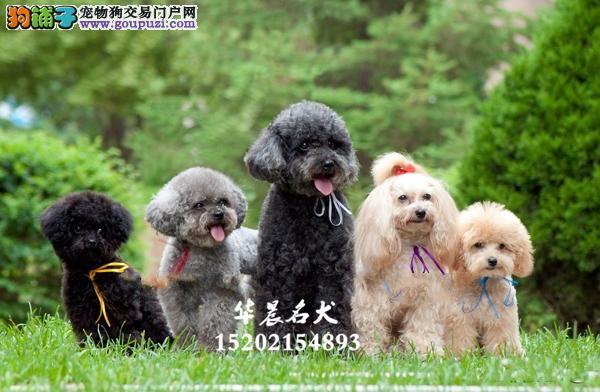 韩系小体泰迪 大众明星最爱 高贵血统品相到位