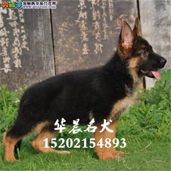 德牧低价出售大型护卫犬全国发货