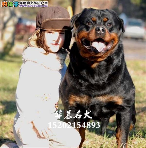 出售德系赛级罗威纳幼犬 大骨架护卫犬全国配送