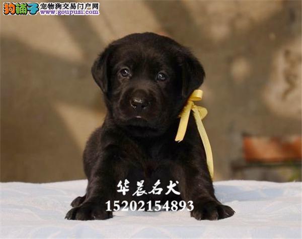 齐齐哈尔家养拉布拉多带证书幼犬待售全国发货