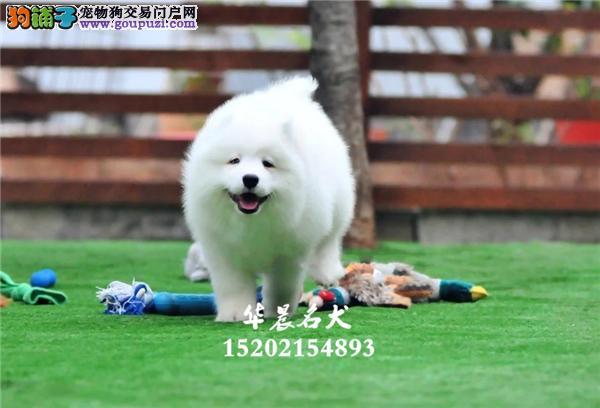 哈尔滨市正规犬舍萨摩耶赛级犬全国发货