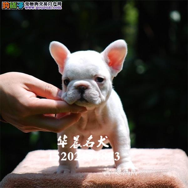 哈尔滨市最大犬舍法牛健康憨厚包纯种全国发货