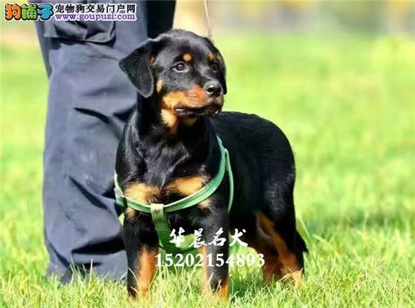 乌鲁木齐罗威纳狗狗下单有礼带证书全国发货