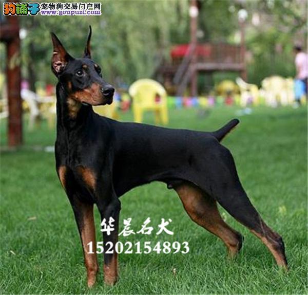乌鲁木齐杜宾漂亮犬血统纯正全国发货