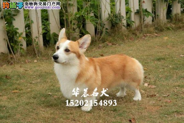 乌鲁木齐柯基出售小幼犬送用品全国发货