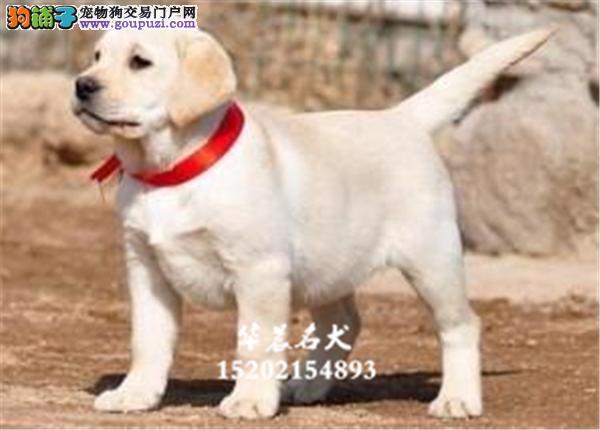 南昌市犬舍拉布拉多赛级极品保健康全国发货
