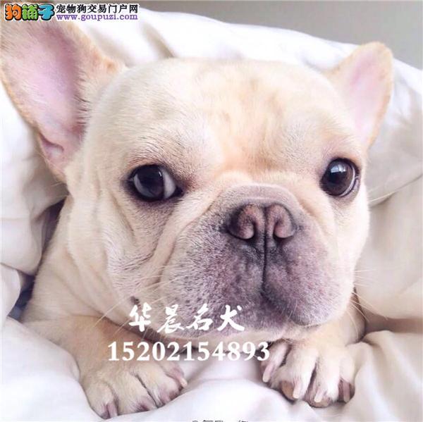 南昌市法牛赛级憨厚幼犬双血统全国发货